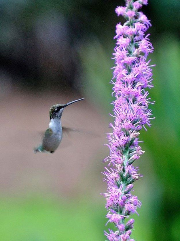 Blazing Stars | 37 Flowers That Attract Hummingbirds