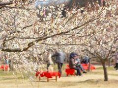 岡山市の遊楽山と呼ばれる丘陵地帯にあるのが神崎梅園 地元町内会が昭和40年代の頃から梅林を管理していて梅の名所です 園内には約150本もの梅の木が植えられていてとっても綺麗ですよ 梅まつりも開催されるからぜひ一度足を運んでみてくださいね()/ tags[岡山県]