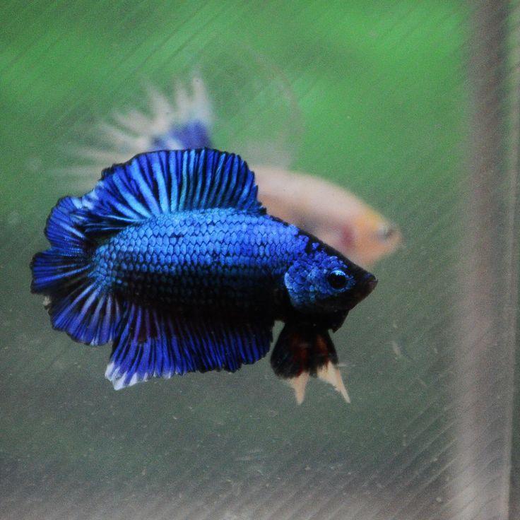 1000 images about betta fishies on pinterest betta tank for Ebay betta fish