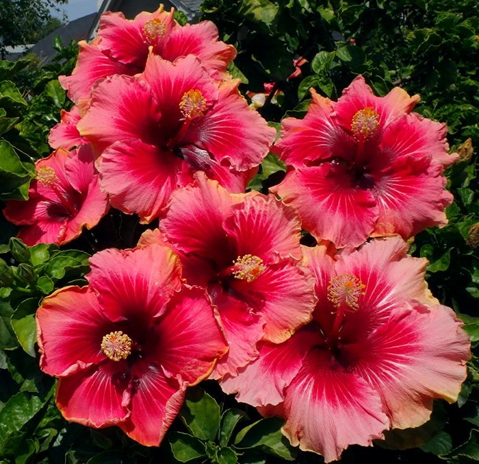 Hibiscus Care: The 25+ Best Hibiscus Garden Ideas On Pinterest