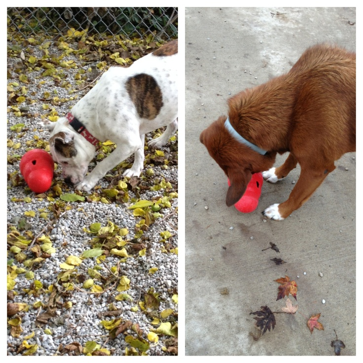 2 of our adoptable dogs, 8-Ball (l) & Sahara (r) enjoying their Kong Wobblers during feeding time!