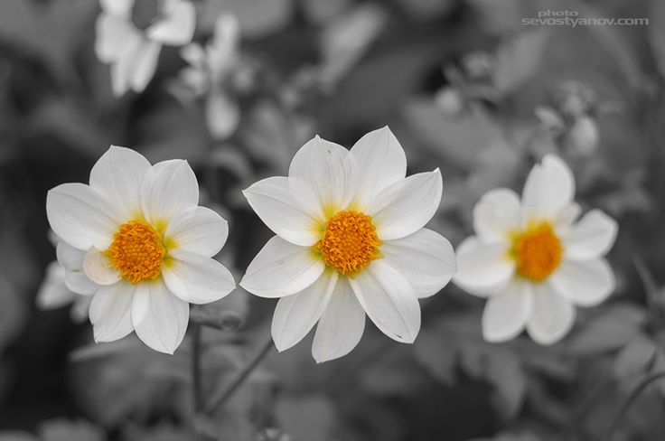 """Three Flowers From """"Flowers"""" photo prints collection."""
