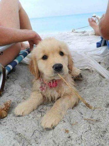 Cute Golden Retriever Puppy Sunbathing on the Beach