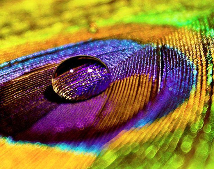 Gambar Corak Bulu Burung Merak Basah
