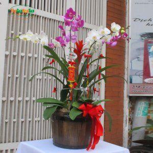 Chậu hoa lan  5 cây có nụ