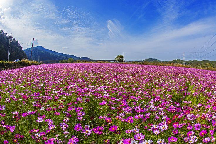 남후면검안리 코스모스(2015, 농업기술센터 이용덕)
