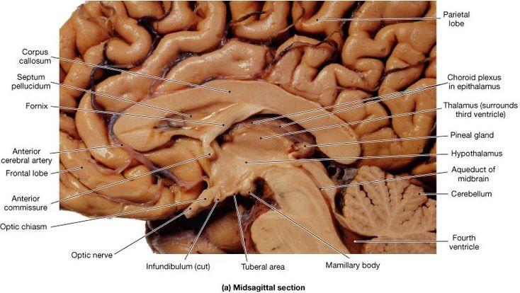 Thalamus | Human brain, Human anatomy and physiology ...