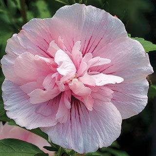 30 Best Rose Of Sharon In Garden Images On Pinterest