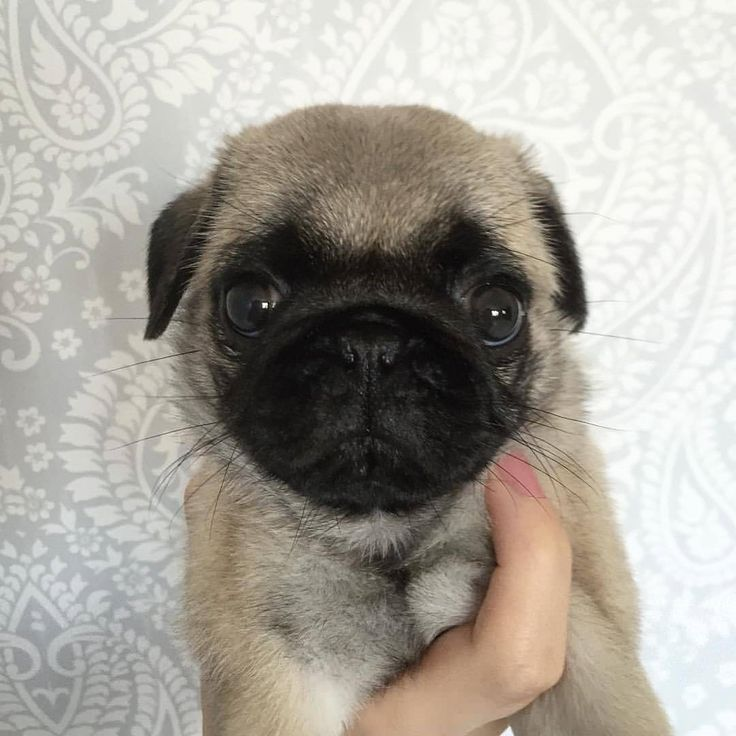 Would you like to hug it as much as I do?💝  All credit goes to the owners 💝 Tag if you know them 💝  #pugdaily #pugs #pug #cute #puglover