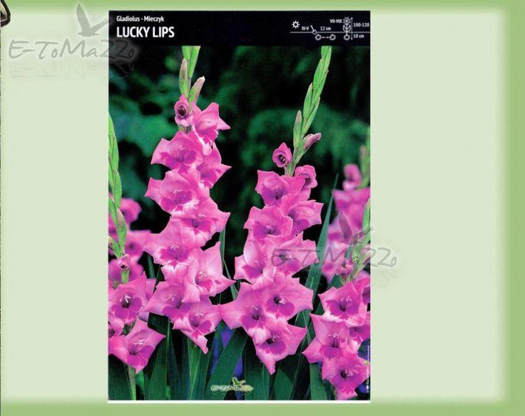 Gladiolus-Mieczyk Lucky Lips 60 szt. BULWY CEBULE KŁĄCZA NAS