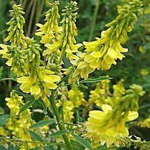 Донник лекарственный (Melilotus officinalis L.) - корневая система. описание плодов. Сорняки.