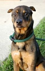 Elena 31A is an adoptable Doberman Pinscher Dog in Baton Rouge, LA.  All dogs in the adoption program are examined by a veterinarian, vaccinated, spayed/neutered, and micro-chipped prior to leaving t...