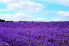 Lavender Fields 12