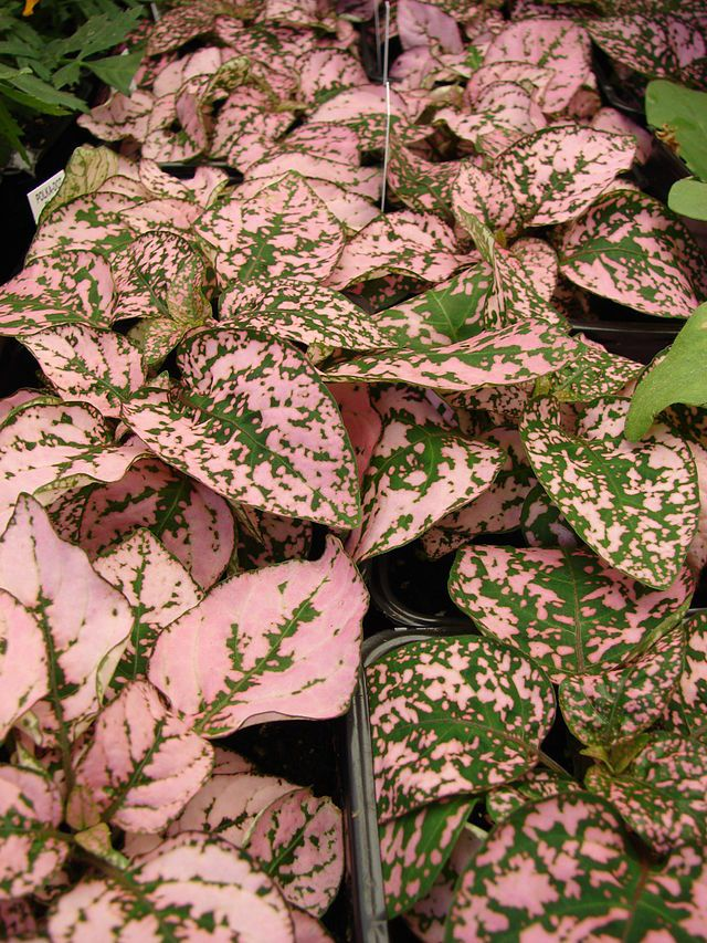 Pink and green Polka Dot Plant Tips on caring for polka dot plant
