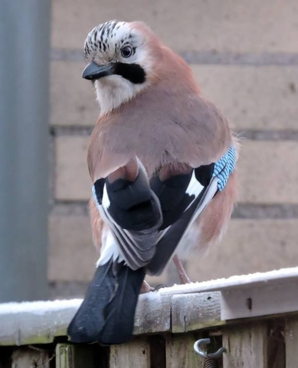 eichelhäher  tierbilder tiere und einheimische singvögel