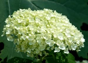 Incrediball hydrangea (photo) is so called due to its massive flower head. It's incredible! - David Beaulieu