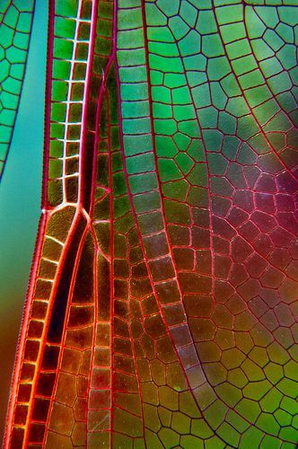 Dragonfly Wing   Flickr - Photo Sharing!