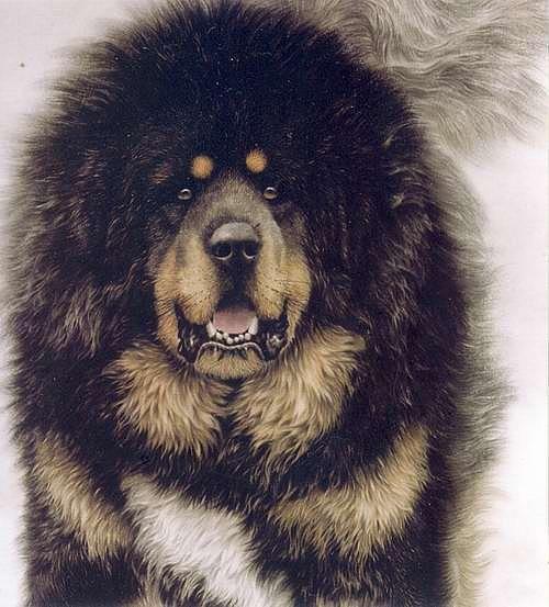 Dog φυλών | Εκπαίδευση Σκύλων Κέντρο Βόλγα Bure Basar