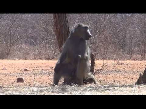Baboon Archery Harvest with Motsomi Safaris | Bowhunting Videos