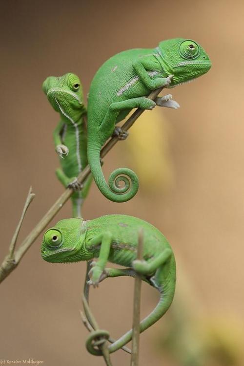 greenies.