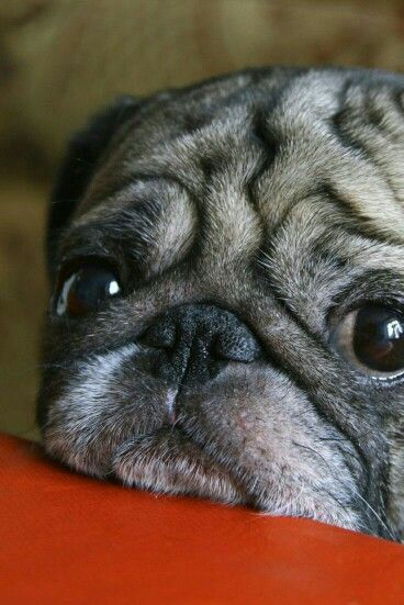 The loving face of a Pug