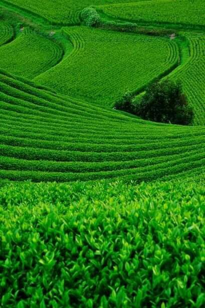 Rolling green fields