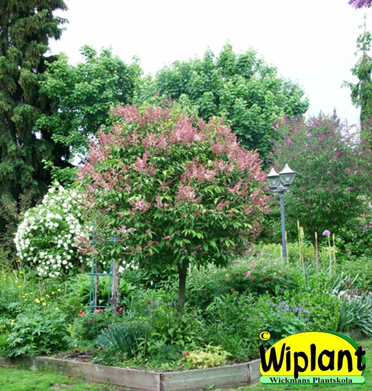 Syringa 'Coral' på stam. Ljust laxrosa blommor i juni-juli. Höjd: 1,5-3 m.
