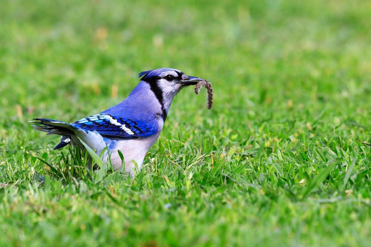 Blue Jay - A blue jay catching caterpillars
