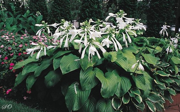 Looking for online Coral bells. Here we have huge collection of Hostas and it's varieties for your garden.