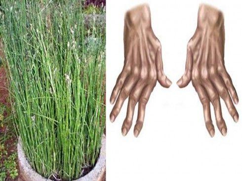 Plantas medicinais para artrose