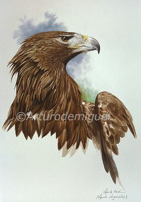 Dibujo Con Acuarela Águila Real Aquila Chrysaetos