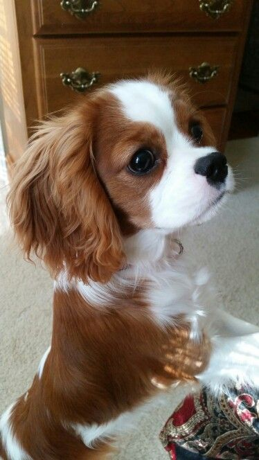 Cavalier King Charles Spaniel definitely going to be my next pup! Such sweet temperaments❤️