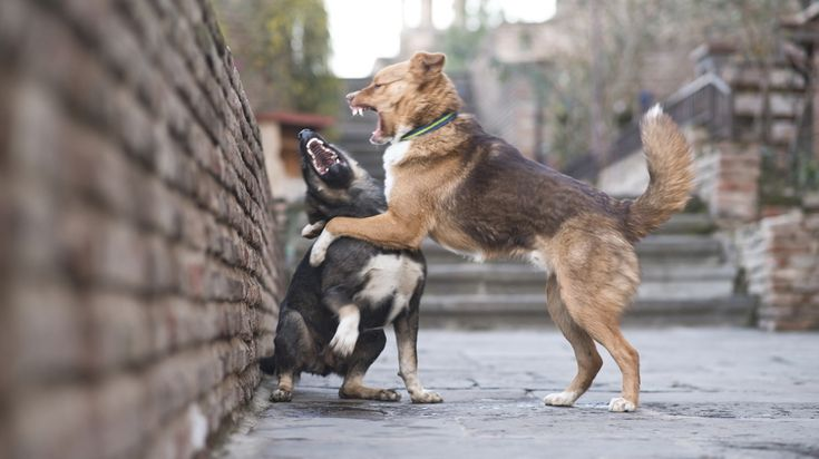 Dog fights can be scary stuff! Learn how to break up a dog fight quickly and effectively with these seven strategies that won't get you bitten - read now!