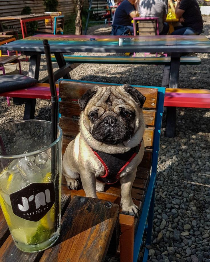 This lemonade looks delicious  It's just what I need after a long walk  #mauricethepug #jaibistrot #longwalk #lemonade #cooldown #chillin #jai #terrace #weekend #sunnyday #pug #mops #dog #puppy #puglife #pugchat