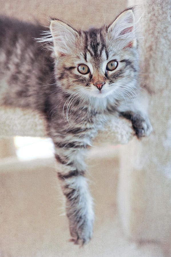 Brown Tabby Kitten Photograph - Brown Tabby Kitten Fine ...