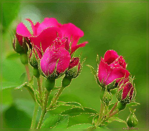 Pink Roses Gif ~ Rose Fans - Red Roses, White Roses, Pink Roses, Black Roses