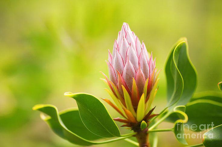 King Protea Bud Photograph