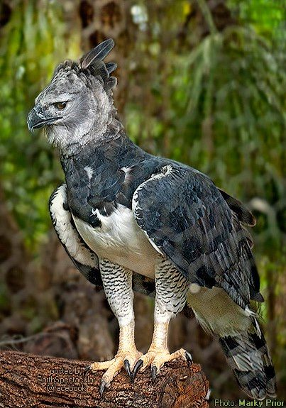 "The magnificent 'Harpy Eagle' (Harpia harpyja)  Often cited as world's largest extant Eagle, it indeed is one of the largest and most powerful living raptor on Earth. Though it is smaller in length if compared to 'Philippine Eagle' (monkey eating eagle). It is broad and bigger in weight and bulk than any other large eagles. Where other large eagles weigh up to 9 kg (20 lb) maximum, one large captive female, ""Jezebel"", weighed 12.3 kg (27 lb)."