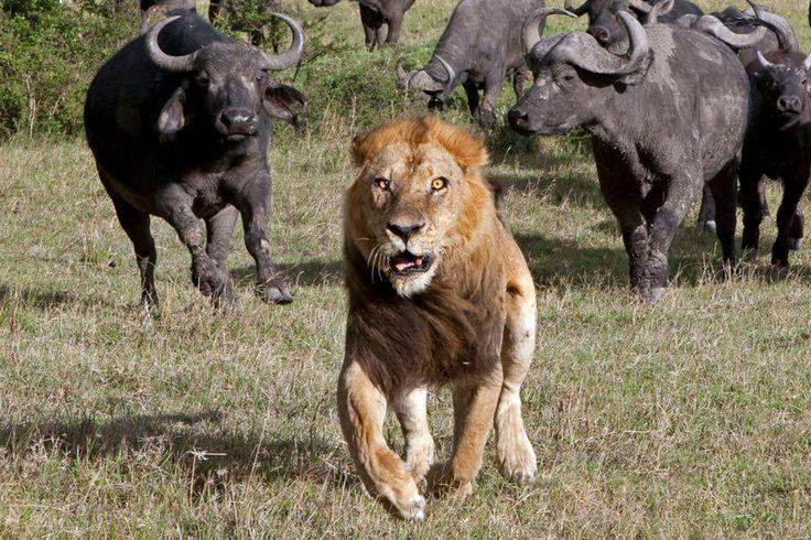 Lew ucieka przed bawołami #KrólLew #zwierzęta #natura