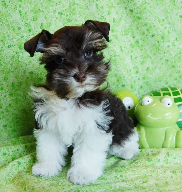 Miniature Toy Teacup Schnauzers Toy Schnauzers and Miniature Schnauzers for sale from Paradise Valley Schnauzers. Black, Black and Silver, Salt and Pepper, Silver, White, Rare Chocolates and White Chocolates and Parti Colors. Pictures of Miniature Schnauz
