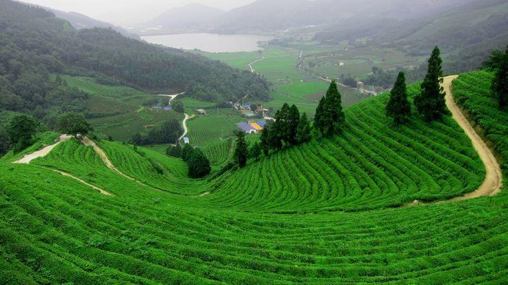 เกาหลีใต้  Tea by brittanyelyse
