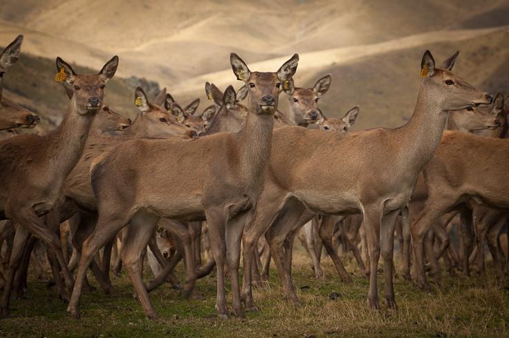 Deer on Criffel Station