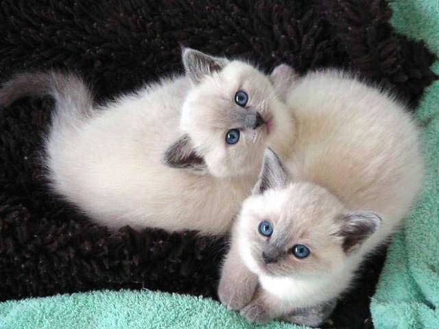 deux chatons siamois                                                                                                                                                      More
