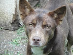 Dot is an adoptable Australian Kelpie Dog in Saint Clairsville, OH. Hello. My name is Dot. I am a year old Australian Kelpie. I was surrendered by my family to the shelter. I'm a very pretty and frien...