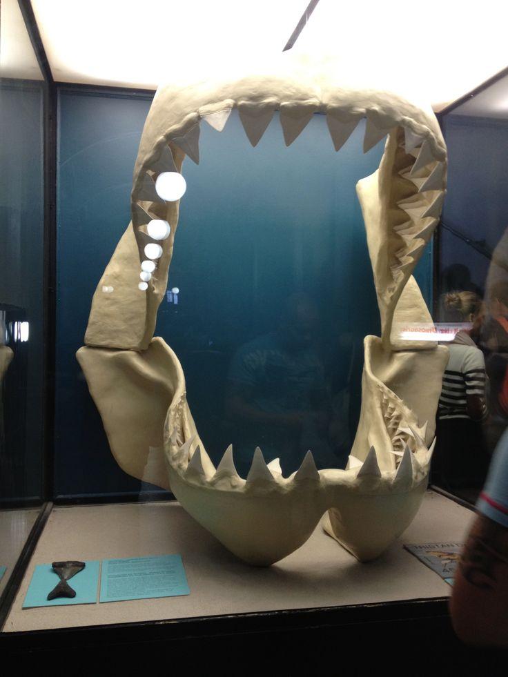 Megalodon jaw (Museum für Naturkunde Berlin)