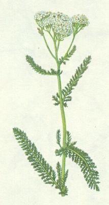Řebříček obecný(Achillea millefolium)