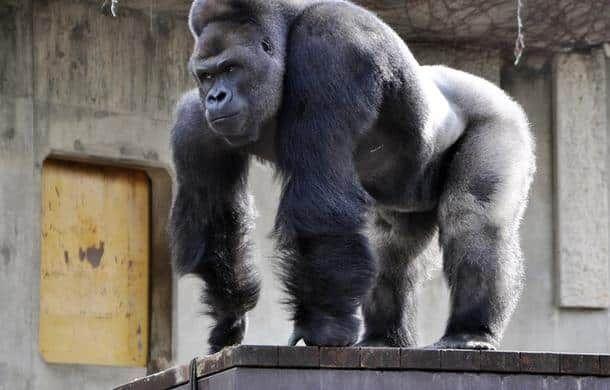 HIGASHIYAMA ZOO - AFP Un gorille abattu dans un zoo suite à la chute d'un enfant dans son enclos ! Le tribunal du net;