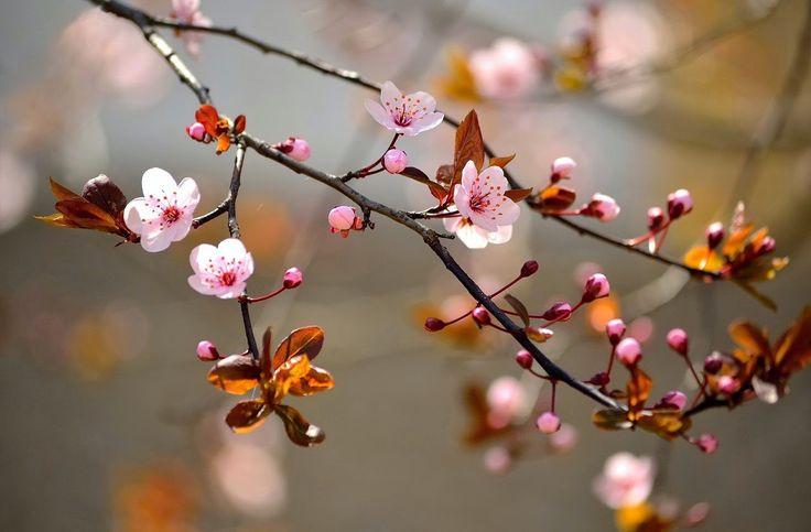 Cadouri Fistichii: Flori de cireş