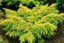 Old Gold #Juniper, this plant has bronze gold foliage which is retained through the winter. It must be planted in full sun to maintain its colour. Rarely needs pruned as it doesn't get out of control. Drought Tolerant Collection. For more details, visit: http://www.sheridannurseries.com/plant_product_view?EV0093