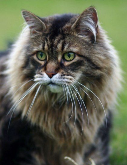 Welcome! Maine Coon Cat Nation is full of tips, advice and lots of photos. Explore unique traits, cat care, and Maine Coon Kittens for sale.